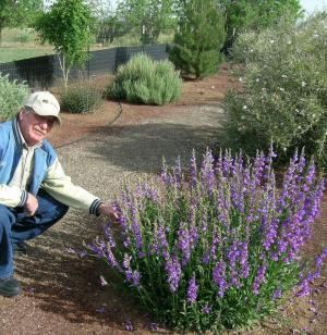 Daniel Smeal with Rocky Mountain Penstemon in NMSU Agricultural Science Center - Farmington Xeriscape Demonstration Garden